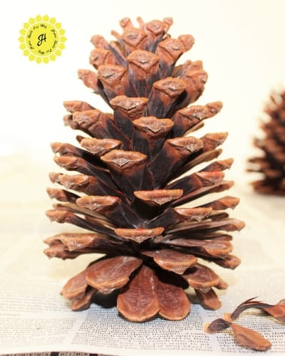 pine cone on end